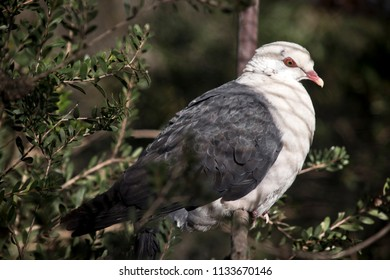 the white headed pigeon is perched on a twig