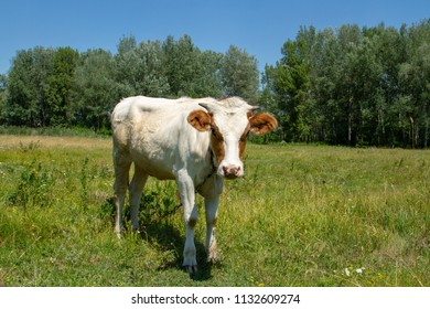 White heifer in red spots peeks. Heifer on the meadow. Private cattle breeding in Ukraine. Household subsidiary farming. A cow is grazing in a clearing.