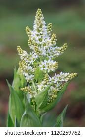 White Hellebore, Veratrum Album poisonous mountain flower