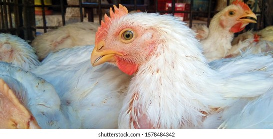 White Hen | Farm for growing broiler chickens to the age of one and a half months. Indoors chicken farm, chicken feeding.