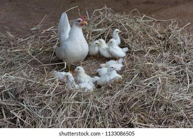 White hen and her children,bantams