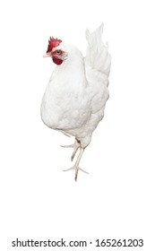 white hen isolated on white