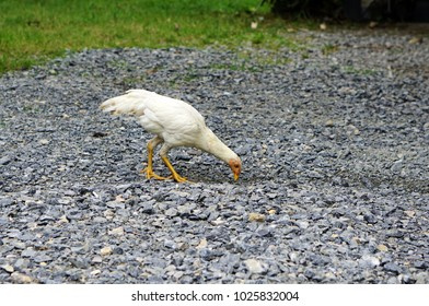 White hen searching for insects as food in the early morning of the country Thailand