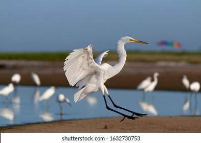 White heron (Ardea alba) , Siesta Key, Sarasota, Florida, USA.
