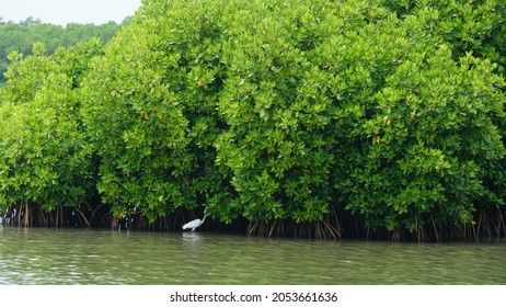 a white heron beak bird in front of a mangrove forest at Thalassery Kannur. Lakes and backwaters in Kerala India.