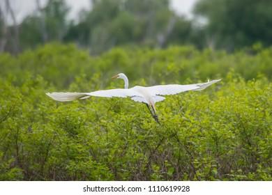 White Heron bird