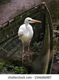White Heron bird standing in an old boat and displaying its white body, plumage, eye, beak, long legs in its environment and surrounding with sun rays on his plumage.