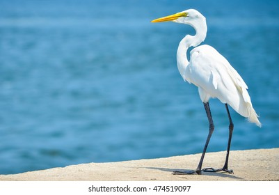 White heron closeup with long neck and blue background in Rio de Janeiro, Brazil with soft focus