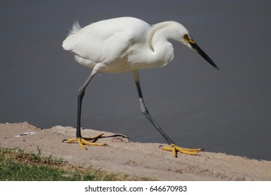 White heron or egret / taking a stroll