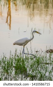 White heron feeding by the lake