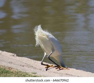 White heron fishing / bottom's up