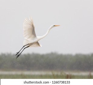 The white heron flying.