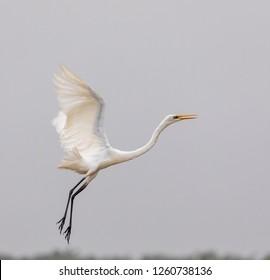 The white heron flying.