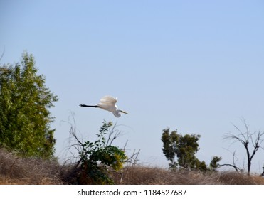 White heron flying in search of a new hideout spot, Kern River wildlife, Bakersfield, CA.
