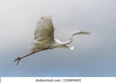White heron, Great Egret, fly on the sky background. Water bird in the nature habitat. Wildlife scene