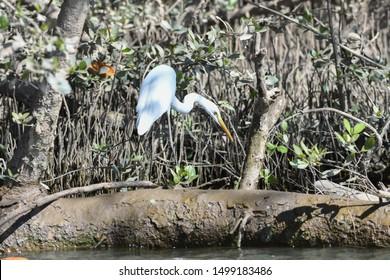 white heron hunting fish at a river