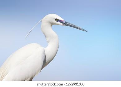 White heron. Little egret. Isolated bird. Blue sky background.