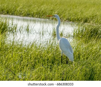 White heron in the local marsh hunting for dinner