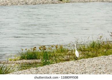 white heron on shingle shore of Ticino river, shot in bright fall light at Bernate, Italy