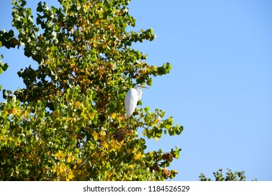 White heron perched on a tree branch enjoying the warm morning sunlight during fall season, wildlife of Kern River, Bakersfield, CA.