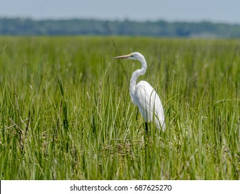White heron in salt marsh