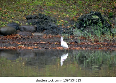A white heron is standing on the edge of a pond. He is reflected in the still water, as are the rocks around him. Fallen autumn leaves cover the grass.
