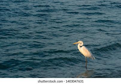 White Heron Standing on edge of Atlantic ocean on Sunset Key in Florida Keys