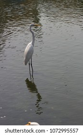 white heron standing in water