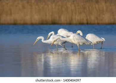 White heron staying and fishing at Burgas lake, Bulgaria