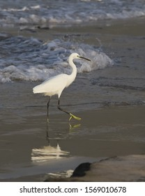 White Heron Stork Bird Little Egret  yellow feet black bill beak pure white feathers walking wading striding on volcanic dark sand tidal beach reflected in water