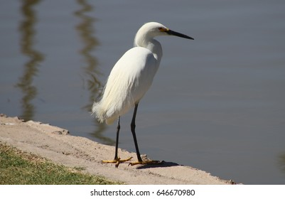 White heron watching for fish