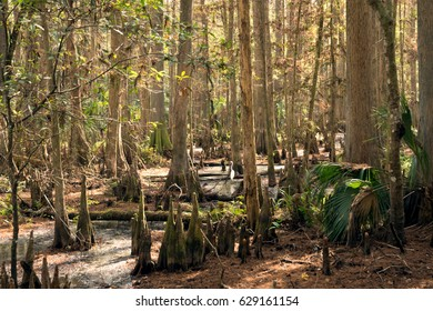 White herons in Bald   cypresses. Highlands Hammock, Florida State Parks, USA