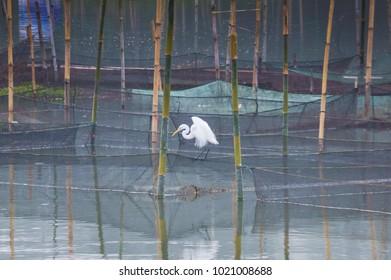 white herons looking for fish between bamboo pole at Rawa Pening Lake, Semarang Indonesia