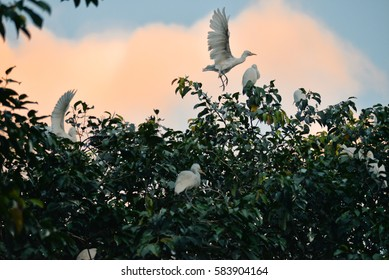 White herons on trees near Ubud, Bali, Indonesia