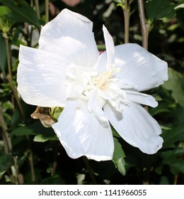 White Hibiscus, Blossom in Full Bloom, close-up