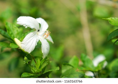 White Hibiscus with copy space