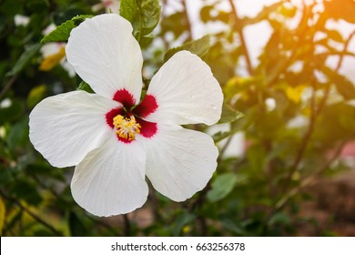 White hibiscus flower at garden in morning. Nature photohraphy.