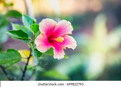 White hibiscus flower on the background of blurred leaves.