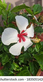 White hibiscus flowers bloom beautifully in the morning