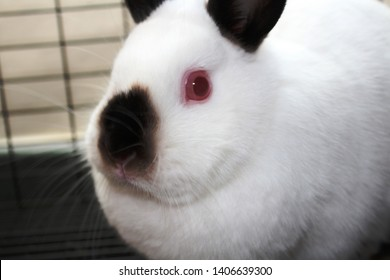 A white Himalayan Netherlands dwarf rabbit with red eyes, black ears and a black nose rests in its bunny cage.
