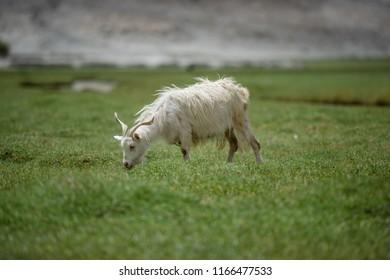 White Himalayan Pashmina goat on green grass in highland plateau in area of Pangong lake, Leh Ladakh, India