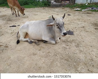 A white holy cow site on the ground, indian  mother cow with horn ( gau , gay )