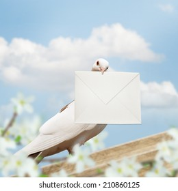 White Homing pigeon with letter.