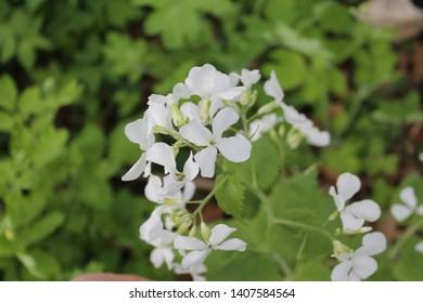 White Honesty specimen sample growing in Ontario Canada