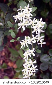white honeysuckles with green and brown blurred background