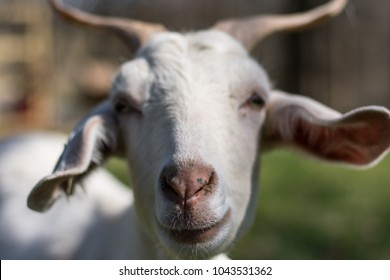 White Horned Goat Closeup and Friendly