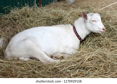 A white hornless goat sleeps on a straw