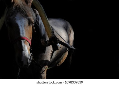 white horse against a black background