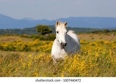 A white horse in a beautiful flower meadow