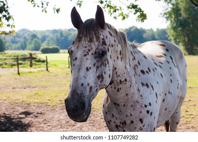 White horse with black dots on a meadow in the shadow of some trees
